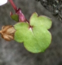 leaf  : nom scientifique : Cymbalaria muralis P. Gaertn., B. Mey. & Scherb. , Cymbalaria , Plantaginaceae