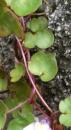 stemleaf  : nom scientifique : Cymbalaria muralis P. Gaertn., B. Mey. & Scherb. , Cymbalaria , Plantaginaceae