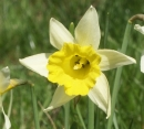 flower  : nom scientifique : Narcissus L. , Amaryllidaceae