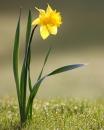 whole  : nom scientifique : Narcissus L. , Amaryllidaceae