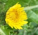 flower  : nom scientifique : Sonchus asper (L.) Hill , Sonchus , Asteraceae