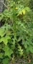 whole  : nom scientifique : Sonchus asper (L.) Hill , Sonchus , Asteraceae