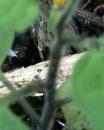 stemleaf  : nom scientifique : Solanum nigrum L. , Solanum , Solanaceae