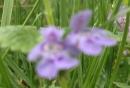 flower  : nom scientifique : Glechoma hederacea L. , Glechoma , Lamiaceae