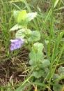 whole  : nom scientifique : Glechoma hederacea L. , Glechoma , Lamiaceae