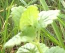 stemleaf  : nom scientifique : Glechoma hederacea L. , Glechoma , Lamiaceae