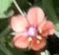 flower  : nom scientifique : Anagallis arvensis L. , Anagallis , Primulaceae
