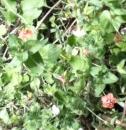whole  : nom scientifique : Anagallis arvensis L. , Anagallis , Primulaceae