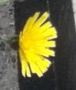 flower  : nom scientifique : Hieracium vulgatum Fr. , Hieracium , Asteraceae