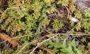 leaf  : nom scientifique : Sedum album L. , Sedum , Crassulaceae