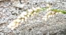 flower  : nom scientifique : Persicaria maculosa Gray , Persicaria , Polygonaceae