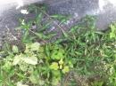 whole  : nom scientifique : Persicaria maculosa Gray , Persicaria , Polygonaceae