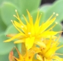 flower  : nom scientifique : Sedum palmeri S. Watson , Sedum , Crassulaceae