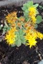 whole  : nom scientifique : Sedum palmeri S. Watson , Sedum , Crassulaceae