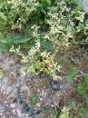 whole  : nom scientifique : Cerastium L. , Caryophyllaceae