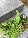 environment  : nom scientifique : Cerastium fontanum Baumg. , Cerastium , Caryophyllaceae