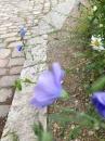 flower  : nom scientifique : Linum perenne L. , Linum , Linaceae
