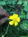 flower  : nom scientifique : Ranunculus L. , Ranunculaceae