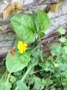 whole  : nom scientifique : Ranunculus L. , Ranunculaceae