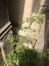 whole  : nom scientifique : Daucus carota L. , Daucus , Apiaceae