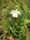 whole  : nom scientifique : Leucanthemum vulgare Lam. , Leucanthemum , Asteraceae