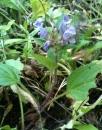 whole  : nom scientifique : Brunella vulgaris L. , Brunella , Lamiaceae
